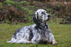 ΣκύλοςΑγγλικό Σέττερ - DogsCity.gr