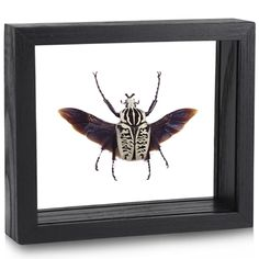 Goliathus albosignatus - $223 (!) (framed) - $ 159 unframed (ew) - the beetles are sustainably bred and collected in Africa by locals.
