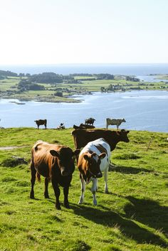 Livestock in Stavanger Norway | photography by http://www.julia-wade.com
