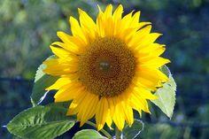 Ende August noch eine Sonnenblume