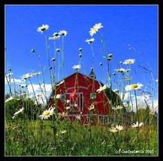 barns...and daisies