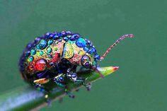 Gökkuşağı yaprak böceği (Chrysolina cerealis) İngiltere