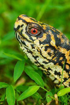 ˚Eastern Box Turtle