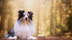 hugo, dog, shetland sheepdog, sheltie, sheltie shetland sheepdog dog hugo, dogs pets