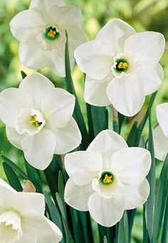 Narcissus Narcissus Large Cupped Misty Glen from Netherland Bulb