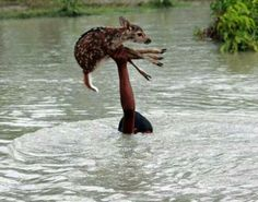 A young boy risks his life to save a fawn from drowning. :)