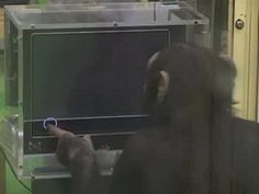 Chimp outdoes all human challengers