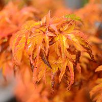 Acer palmatum 'Shishigashira' Lions Head Japanese Maple The small normally green leaves of the Lions Head Maple turn striking colours of orange and yellow in fall. Amazing specimen plant for your garden.