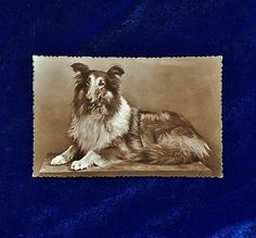 Beautiful Collie dog postcard. Unused. A rare card! This is a real photo antique postcard made c.1912.