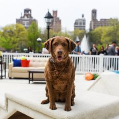 Maggie, Chesapeake Bay Retriever (7 y/o) • NYC – I'll be at the @bissellclean Carpeted Dog Park Challenge from now until 5pm in Washington Square Park. Come by to see how big of a mess your dog can make! #PetHappens #sponsored