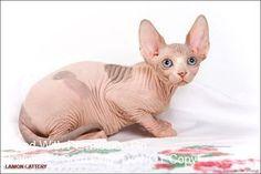 Sphynx Cat, Kitty Cats, Cats And Kittens, Rex Cat, Devon Rex, Cattery, Siamese, Cat Love, Dreams
