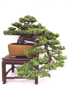 Some kind of a pine bonsai, I suppose. Beautiful!