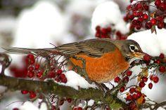 An American Robin eating berries in the snow. Johnny Jump Up, American Robin, Robin Bird, Robins, Pacific Northwest, Beautiful Birds, Oregon, Yard, Female