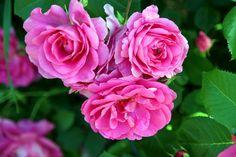 Nature Photos, Roses, Flowers, Plants, Pink, Rose, Florals, Planters, Flower