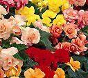Jumbo Begonia: part sun; fertilize during growing season; after 1st frost blackens foliage, cut stalks back to ground level, stop watering until spring & place in cool protected area