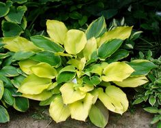 hosta  'Drawn Butter'The Hosta Cottage