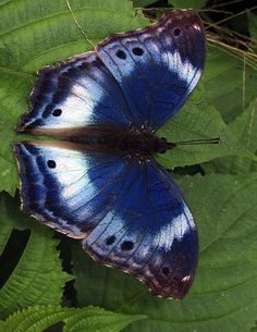 Western Blue Beauty(Protogoniomorpha cytora).  It is found in Guinea, Sierra Leone, Liberia, Ivory Coast, Ghana, Togo and Benin. The habitat consists of open spaces in primary forests and mature secondary forests.