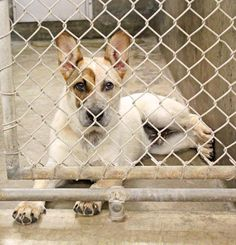 ~~ODESSA FOSTER DESPERATELY NEEDED~~ This gorgeous boy has a rescue that will take him but we need a foster. Heelers are the best dogs!! Lets get him out or if you are looking for a Heeler GO ADOPT!!! HE is ready to be adopted!!! ***Owner surrender***Meet Big Red Heeler mix male less than a year old  Kennel A12 Available NOW ****$51 to adopt  What a great dog! No idea how someone could abandon him.  Located at Odessa, Texas Animal Control. 432-368-3527.