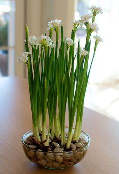 Нарциссы из луковицы в вазе с водой