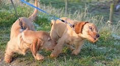 """This way..This way.........PULL! (Basset Fauve De Bretagne) 