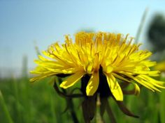 """The dandelion's official name is Taraxacum Officinale. This simply means """"the official remedy for disorders"""".  A cup of raw greens has the same calcium as ½ of a glass of milk. It also has 14,000 i.u. of Vitamin A, plus 19 milligrams of thiamin, 26 mg. of riboflavin and 35 mg. of ascorbic acid, your body changes it into vitamin C. That's more than most multi-vitamins!"""