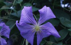 Buy clematis (group 3) Clematis 'Perle d'Azur': Delivery by Crocus