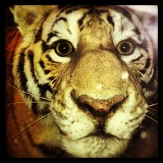 #Tiger @ American Museum of Natural History.