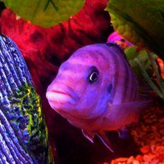 George, my African cichlid. Malawi Cichlids, African Cichlids, Colorful Fish, Tropical Fish, Freshwater Aquarium, Aquarium Fish, Beautiful Fish, Animals Beautiful, Terrarium