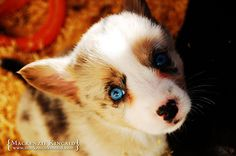 Blue Merle Corgi Puppy