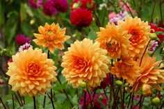 Dahlias -- Dahlias grow from an underground tuber, which makes for prolific growth through spring and summer then flowers in autumn. Dahlias flower in all colours, so carefully choose the colours that harmonise with the rest of your garden.