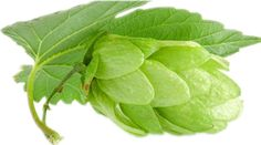 Why hops and hops extract so popular now?  http://www.plantsextract.com/herbal-extracts/hops-extract.html hops-extract.html Hops are the flowers (While these flowers, which are also sometimes known as seed cones) of the hop plant Humulus lupulus.They are used primarily as a flavoring and stability agent in beer, to which they impart a bitter, tangy flavor also used for various purposes in other beverages and herbal medicine.