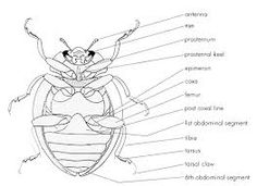 hawaiian happy face spider coloring pages   External Anatomy of a Beetle   Anatomical Illustration ...