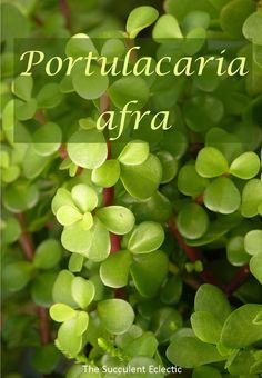 Learn all about growing Portulacaria afra. It is pet friendly, and safe for kids, with varieties that grow up to 15 feet tall and captures carbon better than the rain forest! Succulent Soil, Propagating Succulents, Succulents In Containers, Cacti And Succulents, Planting Succulents, Cactus Plants, Elephant Food, Carbon Sequestration, Jade Plants