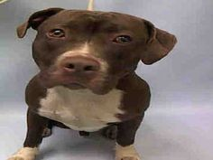 PULLED BY SECOND CHANCE RESCUE - 12/23/15 - TO BE DESTROYED - 12/23/15 - KENNY - #A1060659 - Urgent Manhattan - MALE BROWN PIT BULL MIX, 1 Yr - STRAY - NO HOLD INTAKE 12/15/15 DUE OUT 12/18/15