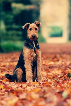 Airedale Terrier by Nico Verkest, via 500px
