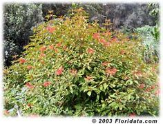 This is the Firebush, a native that takes full sun and is drought tolerant once established. Down south it should grow year round, and flower almost year round. Attracts butterflies, humming birds, and other birds that eat its berries.