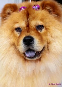 Chow-Chow, pet, dog, love