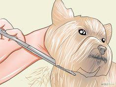 Groom a Yorkshire Terrier Step 27.jpg