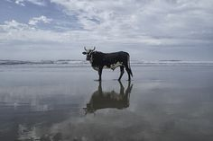 PORTRAITS OF SOUTH AFRICAN COWS ON THEIR DAILY PILGRIMAGE TO THE BEACH by Christopher Rimmer