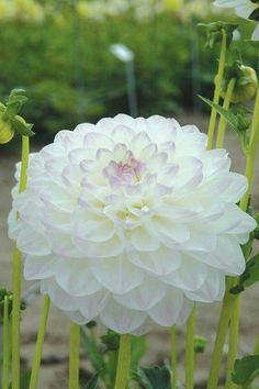 White beauty dahlia