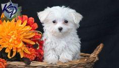 Dee – Maltese Puppy www.keystonepuppies.com  #keystonepuppies #maltese