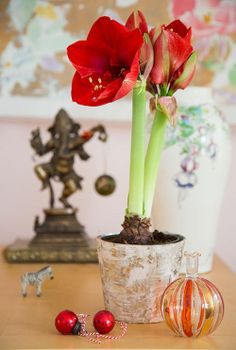 Amaryllis- so much fun to watch them open a little more each day