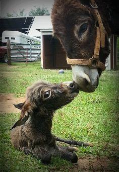 Newborn donkey with its mom.