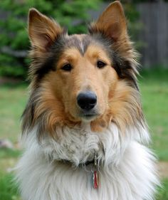 Old Time Scotch Collie - Thane