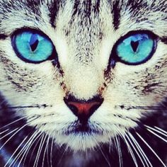 Top 28 Photos Of Blue Eyed Cats Pets Cats Animal photos cute animals Beautiful Blue Eyes, Beautiful Cats, Animals Beautiful, Beautiful Things, Stunning Eyes, Cute Kittens, Cats And Kittens, Funny Kitties, Cats Meowing