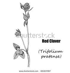 Red clover. Hand drawn sketch botanical illustration.  Medical herbs