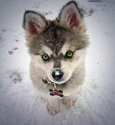 Pomsky - Pomeranian and a Husky. Looks like a husky puppy for it's whole life