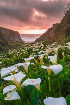 Calla Lily in sunset, Big Sur by Jingjing Li on 500px