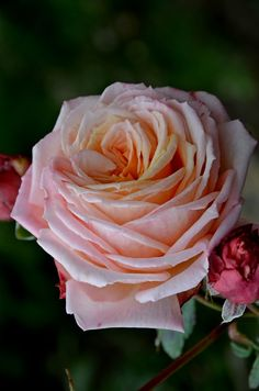 ~Rose 'Baroque'