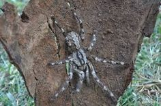Poecilotheria Rajaei - a colourful, fast and venomous spider about the size of your face from Sri Lanka. Huge Spiders, Types Of Spiders, Types Of Insects, Huntsman Spider, Giant Spider, Baboon, Sri Lanka, World, Insects